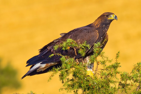 Golden eagle sitting