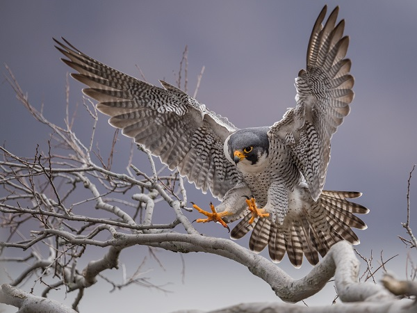 Peregrine Falcon landing on tree branch